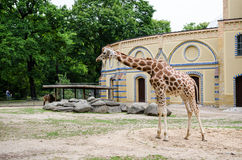 A giraffe standing in her yard at zoo Royalty Free Stock Photo