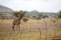 Giraffe is standing, Kenya on safari Stock Photos