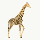 Giraffe, standing, lifting one leg. Drawing, illustration on white background Royalty Free Stock Images