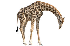Giraffe standing lowering Head isolated on white. Background, seen and shot in namibia, africa stock photography