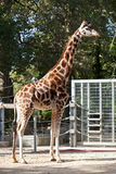 Giraffe standing near fence Royalty Free Stock Photo