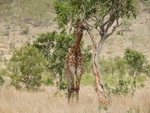 Giraffe Standing Near on Grey Green Tree Royalty Free Stock Image