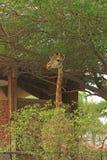 Giraffe standing near trees Stock Photography