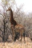 Giraffe standing next to large tree Stock Photo