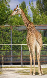 Giraffe,standing outside the fence. Stock Photos