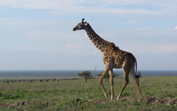 A giraffe standing on plain Royalty Free Stock Photography