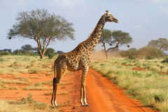 Giraffe. Standing on the road Stock Images