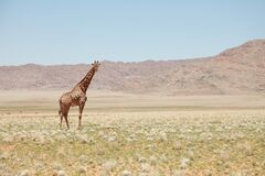 Giraffe standing in savanna