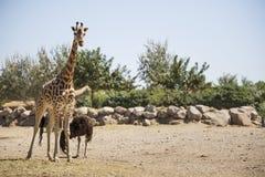 Giraffe standing on savannah stock images