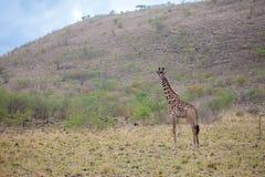 Giraffe is standing in the savannah of Kenya Stock Images