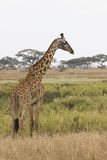 Giraffe standing on the shore of a small pond on the background Stock Photography