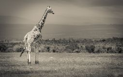 Giraffe Standing Tall at a conservancy. A reticulated giraffe captured standing tall at the ol pejeta conservancy Stock Image