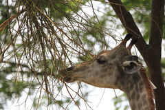 Giraffe 5 Royalty Free Stock Photo