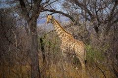 Giraffe standing between trees and tall grass stock photo