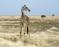 Giraffe standing with two Thompson Gazelle in the background Royalty Free Stock Photo