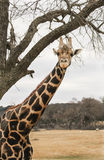 Giraffe standing underneath a tree branch Royalty Free Stock Images