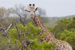 Giraffe stands in African woodland Stock Images