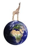 Giraffe stands on the earth Royalty Free Stock Image