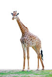 Giraffe stands on the ground Royalty Free Stock Photography