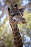 Giraffe Looking to the Side. A giraffe stands and looks to the side Stock Images