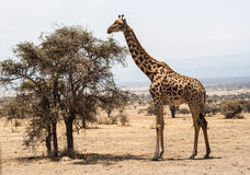 Giraffe stands before tree in the Serengeti. The Serengeti ecosystem is a geographical region in Africa. It is located in north Tanzania and extends to south Royalty Free Stock Photography