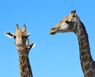 Giraffe Stare - Blue Skies and African Sun Stock Photography