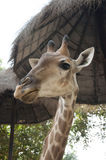 Giraffe Stare Stock Photos