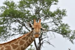 Giraffe Stares Me. Giraffe Stares at camera in Mjejane Game Reserve, Kruger National park, South Africa Royalty Free Stock Photography