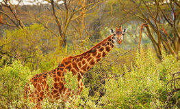 Giraffe staring through the brush. Wild Giraffe hiding in the brushes of South Africa Royalty Free Stock Images