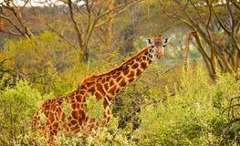 Giraffe staring through the brush Royalty Free Stock Images
