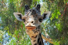 Giraffe Staring Contest. The Giraffe or Giraffa Camelopardalis; native to Africa, this one now resides at the San Diego Zoo in California stock image