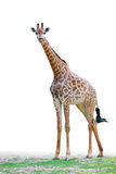 Giraffe staring front Royalty Free Stock Images