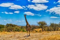 Giraffe staring Stock Photos