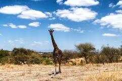 Giraffe staring Stock Images