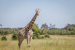 Giraffe starring at the camera. Stock Photos