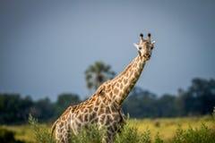 Giraffe starring at the camera. Royalty Free Stock Photos