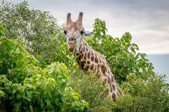 Giraffe starring at the camera. Royalty Free Stock Image