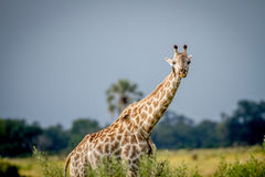 Giraffe starring at the camera. Stock Images