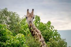Giraffe starring at the camera. Royalty Free Stock Images