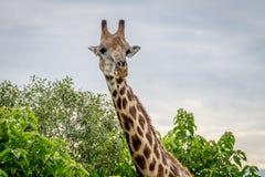 Giraffe starring at the camera. Royalty Free Stock Photography