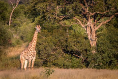 A Giraffe starring in the grass. Royalty Free Stock Image