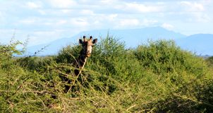 Giraffe starring. A Royalty Free Stock Images