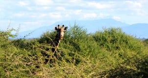 Giraffe starring. A wild giraffes in Arusha region, Tanzania royalty free stock images