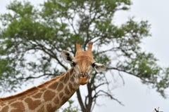 Giraffe starrt ich an Lizenzfreie Stockfotografie