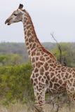 Giraffe steht Seitenansichtprofil Lizenzfreies Stockfoto