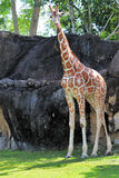 Giraffe with stick Royalty Free Stock Images