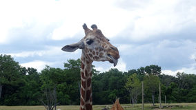 Giraffe sticking his tongue out with blue sky background. royalty free stock photo