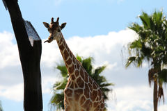 Giraffe. Sticking his tongue out and stretches to the tree Stock Image
