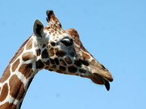 Giraffe Sticking Out Tongue royalty free stock photography