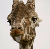 Giraffe sticking out tongue. Giraffe looking towards viewer and sticking out tongue Stock Images